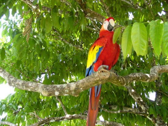 ara_macaw_lapa_roja_picture_6b[1].jpg