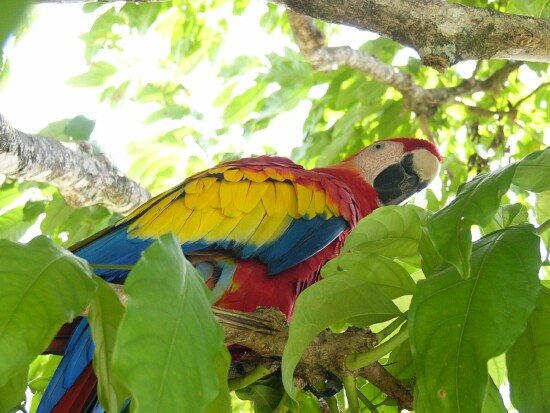 ara_macaw_lapa_roja_picture_13b[1].jpg
